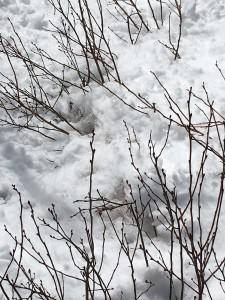 Prune broken blueberry branches